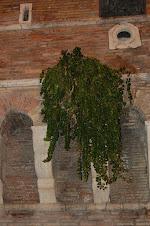 Alc.Inermis -Ciudad del Vaticano -Italia