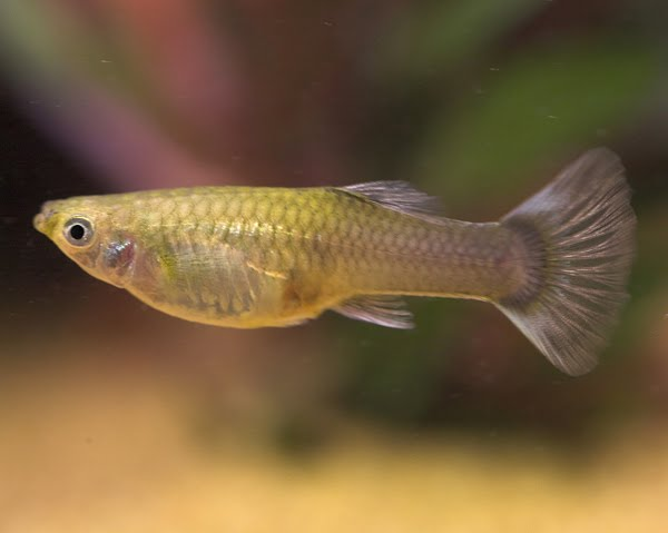 Triplet tales guppies guppies and more ugly guppies for How long is a guppy fish pregnant