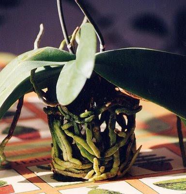 Il Calderone di Marinella: Orchidee Phalenopsis, consigli di ...