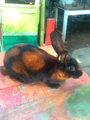 riponti rabbit