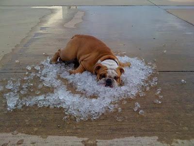 Cão deitado no gelo
