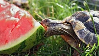 Tartaruga e Melancia
