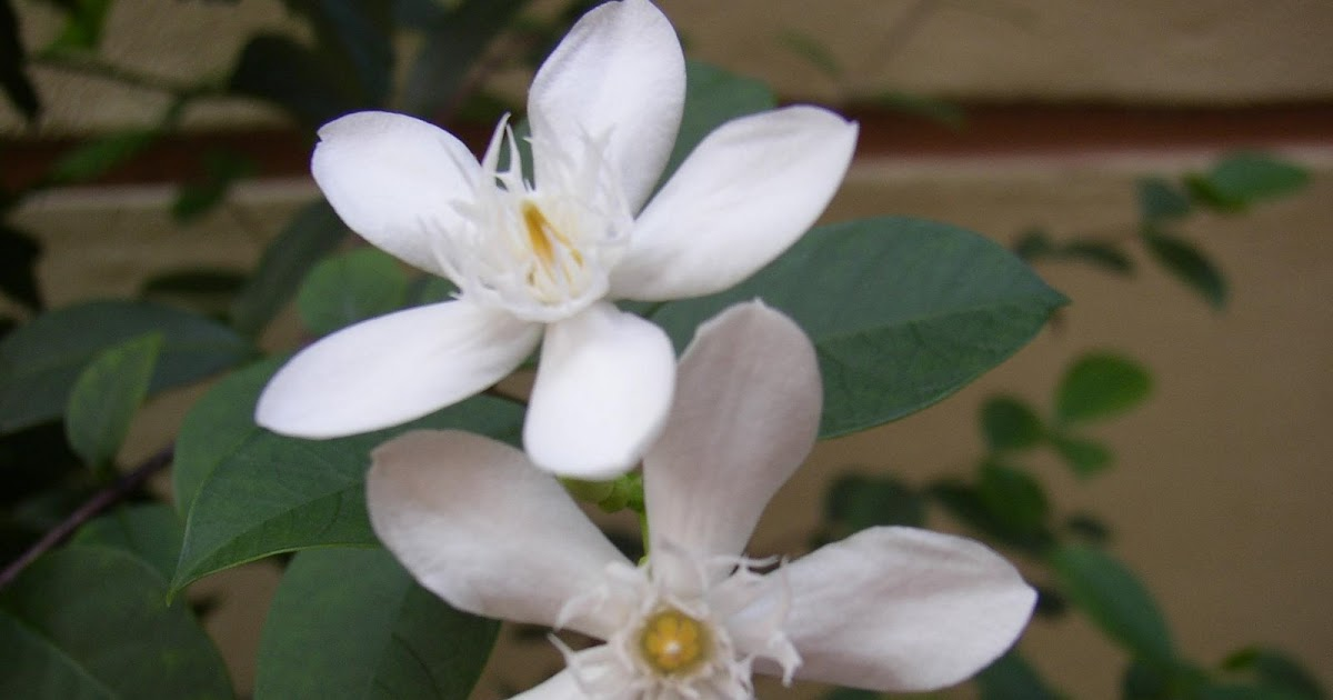 My Nice Garden Wrightia Antidysentrica