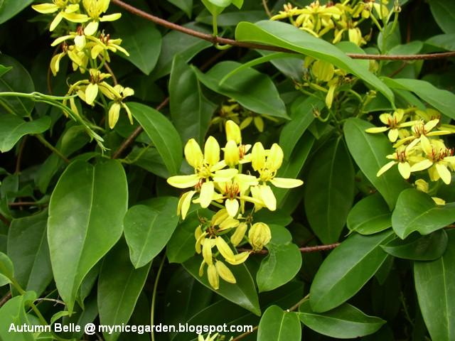 My tropical plants finder tristellateia australasiae tristellateia australasiae mightylinksfo Choice Image