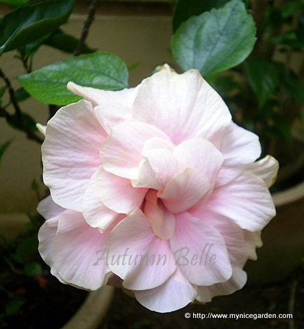 My tropical plants finder hibiscus rosa sinensis double petal hibiscus rosa sinensis double petal light pink mightylinksfo