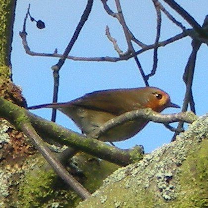 European Robin, Erithacus Rubecula, bird