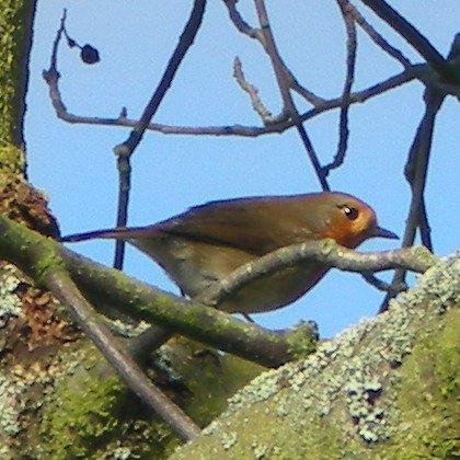European Robin, Erithacus Rubecula, bird