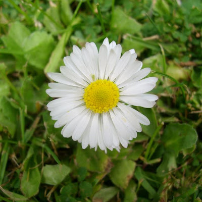 Daisy, Bellis Perennis, flower