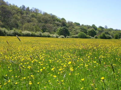 Buttercup Meadow, Cumbria