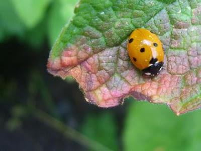 Coccinella 7-punctata, Ladybird
