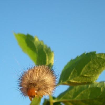 really hairy caterpillar