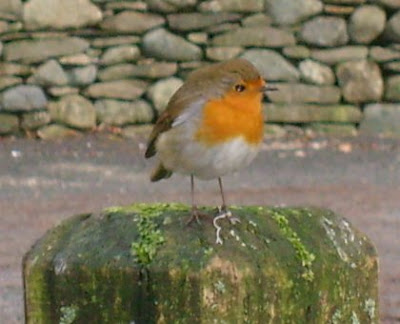 Robin Red Breast, Erithacus Rubecula