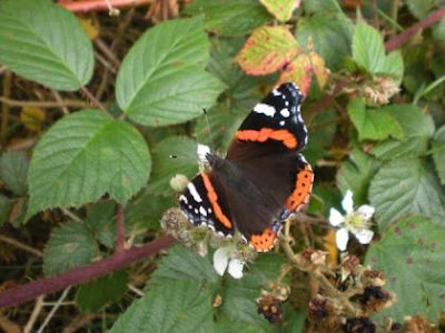 Vanessa atalanta, Butterfly, Red Admiral