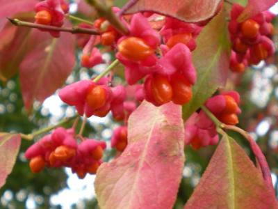 autumn colours: red spindle berries, Euonymus europaeus
