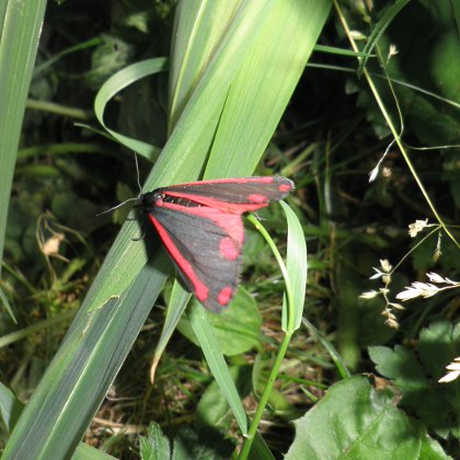 the cinnabar moth, Tyria jacobaeae