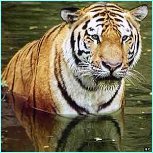 Y Tiger Is Our National Animal NOW IN OUR NATION JUST ONLY