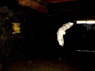 morcego esvoaçante