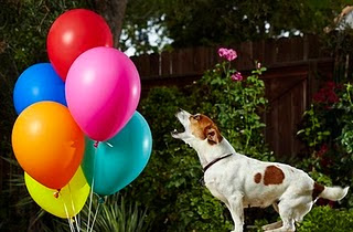 Fastest Time To Pop 100 Balloons By A Dog, New Guinness World Records 2011, latest Guinness Records 2011, Current World Records 2011, Funny ginis records 2011, Recent guinis world record 2011, 2011 Guinness world records,