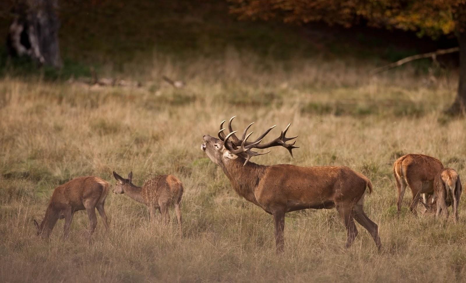 hjort i brunst