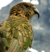 NZ mountain parrot, or Kea
