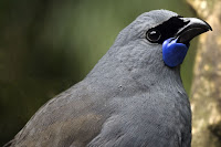 the North Island kokako