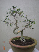 Chinese Elms