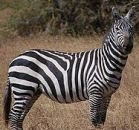 Why Zebra Stripes?
