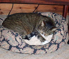 Contented Jazz cat in the dog's bed