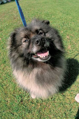 Keeshond Dog Breeds Pictures