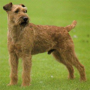 Irish Terrier Top Breed