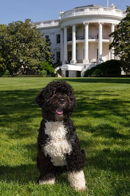 Portuguese Water Dog in White House's