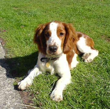 Your Favorite Dog? English Springer Spaniel....