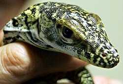 Komodo baby Irwin