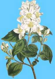 Philadelphus coronarius (unknown artist; blue sky I.C.)