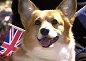 A Welsh Corgi