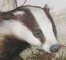 British Badger (not a painting, but a Victorian stuffed specimen)