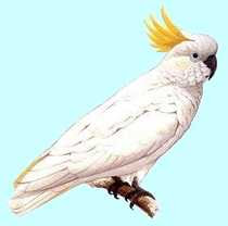 H. James - Sulphur-crested Cockatoo
