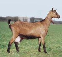 French Alpine Goat Breed
