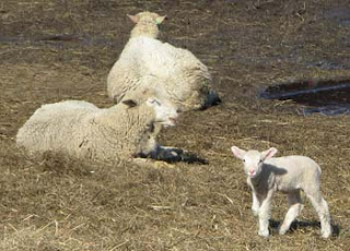 lamb and 2 sheep