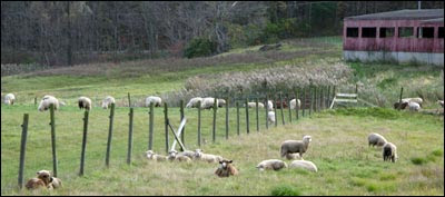 sheep and fence