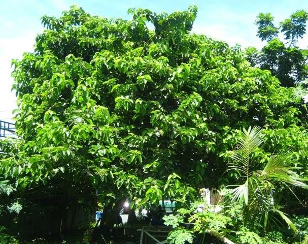 ipil ipil leaves Pdf | this study was conducted to find out the effect of feeding leucaena  leucocephala leaf meal on growth performance and digestibility of.