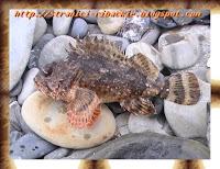 скорпена, морской ерш