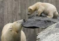 Riscaldamento globale: gli orsi stanno diventando cannibali