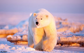 All Animal Pictures: Antarctic Polar Bears Species