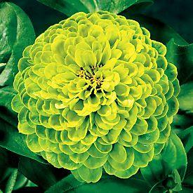 Zinnia Flower Photos