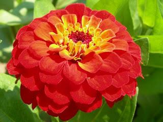 Zinnia Fresh Flower