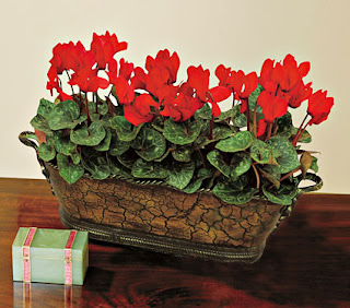 Romantic Red Cyclamen Flower