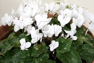 Beautiful White Cyclamen Flower