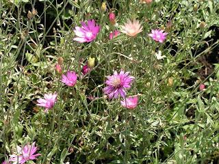 Amazing Xeranthemum Flowers