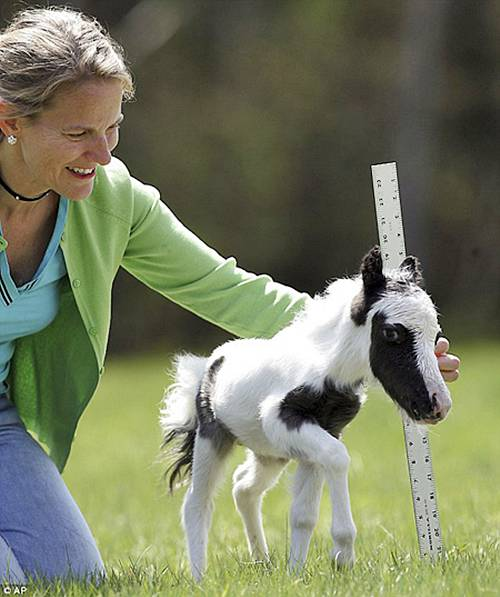 Einstein the smallest horse in the world - photo#9